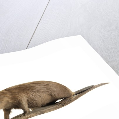 Stuffed beaver by Starbeck Taxidermy