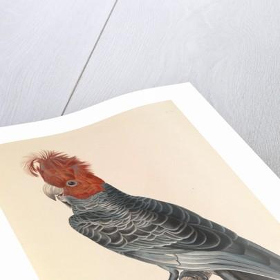 'The Australian Callicéphale' by Hyacinthe de Bougainville