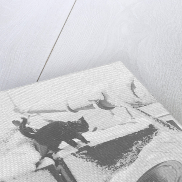 Cat on board the yacht 'Morning Star' by unknown