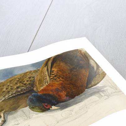 Study of a brace of pheasants by Matilda Rose Herschel