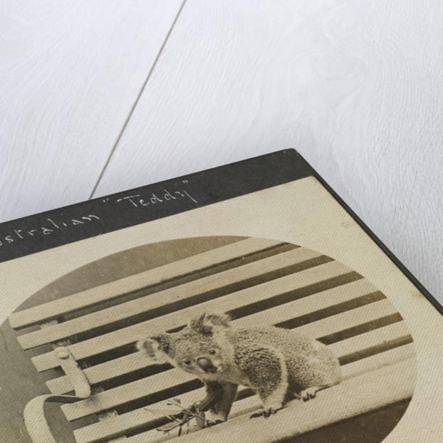 Our Australian 'Teddy'  koala, on the TSS 'Demosthenes' (1911) by John Rodolph Peronet Thompson