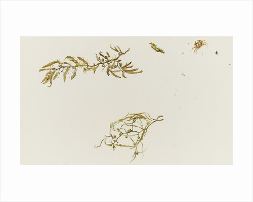 Seaweed and a crab by William Lionel Wyllie