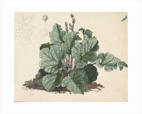 Rhubarb plant by Edward William Cooke