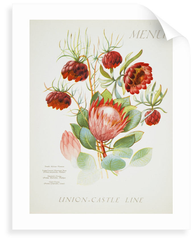 Front cover of Union Castle Line menu from Stirling Castle, depicting South African flowers by unknown