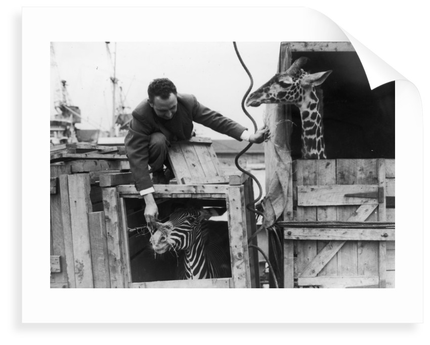 A zebra and giraffe at the Royal Albert Dock. by unknown