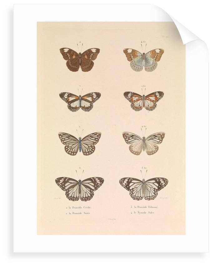 Butterflies, 'The Danaïde Cécile, the Danaïde Anaïs, the Danaïde Edmont and the Jules Nymule' by Hyacinthe de Bougainville