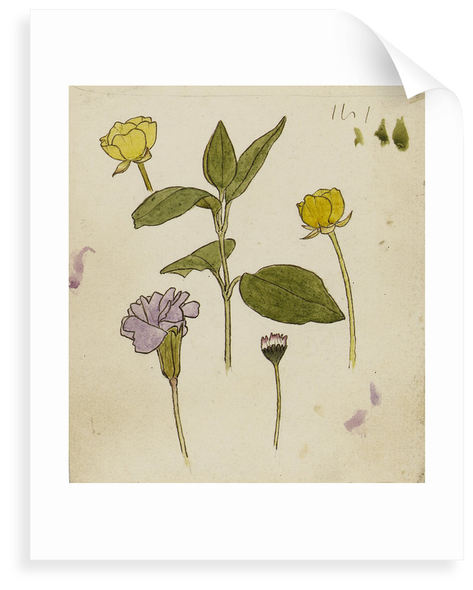 Study of flowers - buttercup and daisy by Rosa Brett