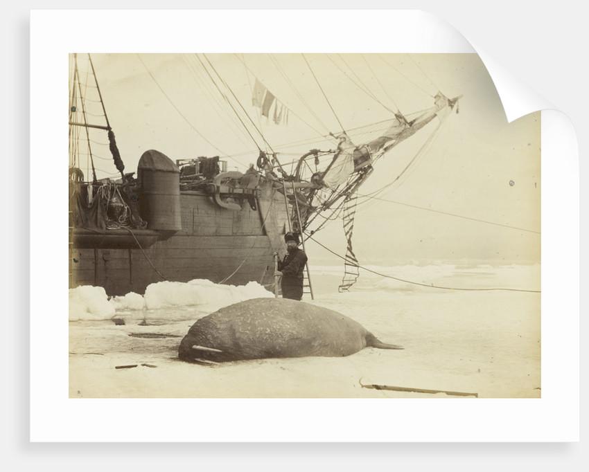 Walrus killed in Franklin Pierce Bay, 10 August 1875 by George White