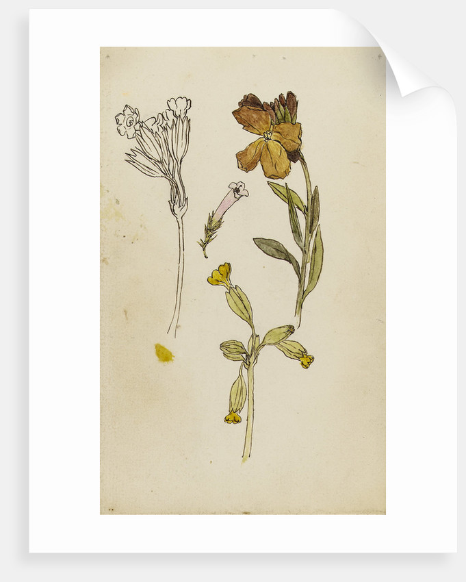 Study of flowers - wallflower and cowslip by Rosa Brett