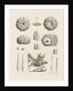 Specimen Plate by C. R. Bone