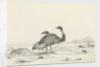 Sketch of emus by Harry Edmund Edgell