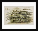 A study of a Cedar tree at Merton by Thomas Baxter