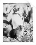 Emperor [King?] penguin with young, Weddell Sea, Antarctica by unknown