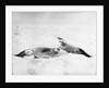 Two crab-eater seals on the ice, Weddell Sea, Antarctic by unknown