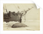 Walrus killed in Franklin Pierce Bay, 10 August 1875 by George White