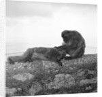 Barbary macaques on Gibraltar by Marine Photo Service