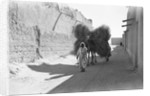 Camel-load of brushwood being transported, Kuwait City by Alan Villiers