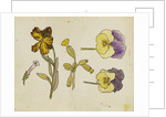 Study of flowers - pansy, wallflower by Rosa Brett