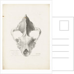 Superior & Frontal View of the Hyaena's Skull from Lawford by G. Scharf