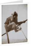 Photograph of a monkey, from an album relating to the naval service of Arthur Bedworth in the Merchant Navy as a radio officer by Arthur Bedworth
