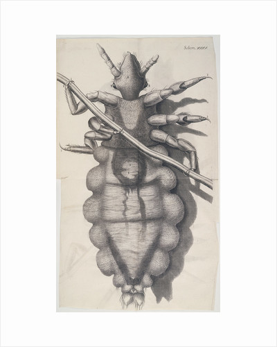 Louse clinging to a human hair in Hooke's Micrographia, 1665 by Unknown