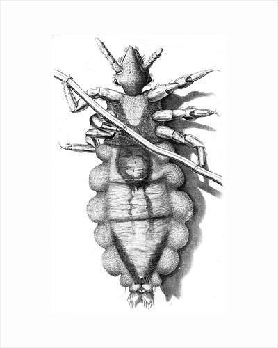 Louse clinging to a human hair, 1665 by Unknown