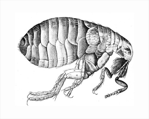 Flea, wingless bloodsucking parasitic insect, 1665 by Unknown