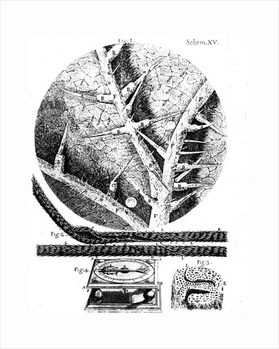 Illustrations from English microscopist Robert Hooke's Micrographia, 1665 by Unknown