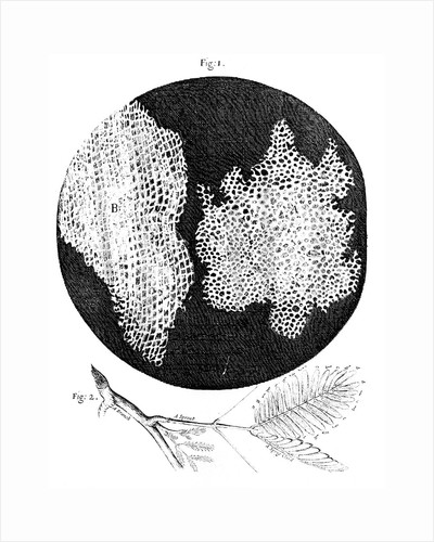 Hooke's observations of the cellular structure of cork and a sprig of Sensitive Plant, 1665 by Unknown
