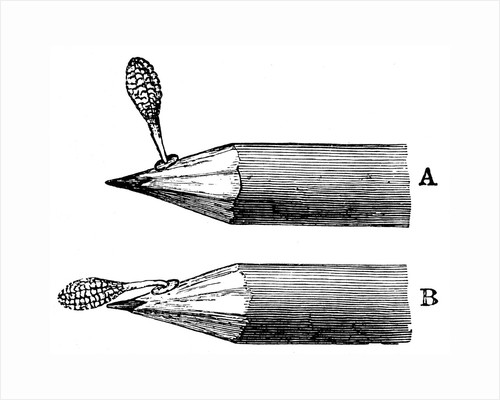 Pollen mass of Orchis mascula when first attached (A) and after depression (B), 1899 by Unknown