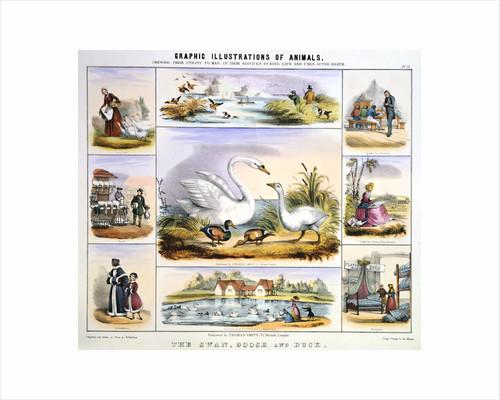 The Swan, Goose and Duck, c1850 by Benjamin Waterhouse Hawkins