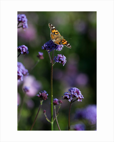 Painted Lady by Philip Smith