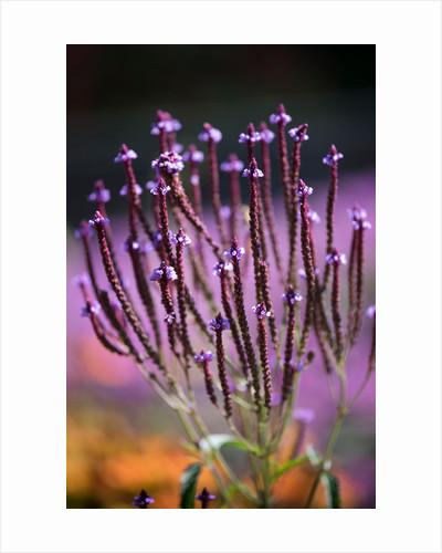 Verbena hastata by Philip Smith