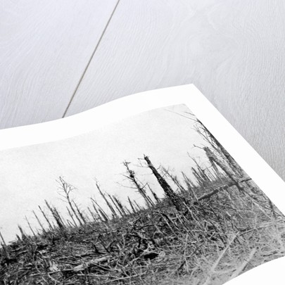 A wood in the Somme area, France by Anonymous