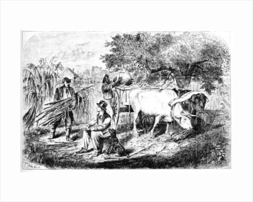 Oxen Hauling Corn by Edwin Forbes