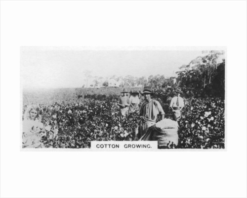 Cotton picking, Australia by Anonymous