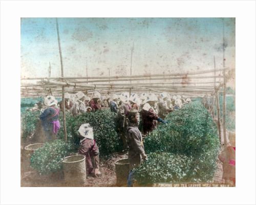 Tea picking, Japan by Anonymous