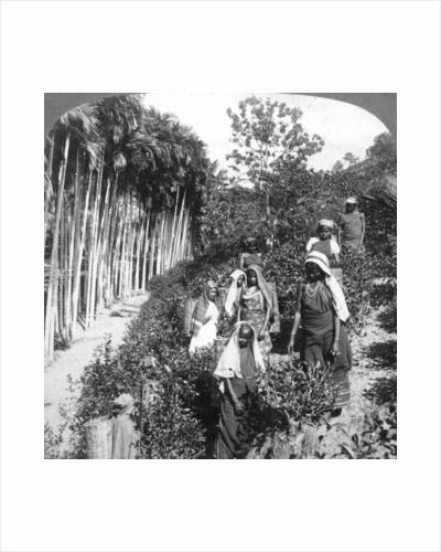 Tamil women picking tea on Sir Thomas Lipton's estate, Polgahawela, Sri Lanka by Underwood & Underwood