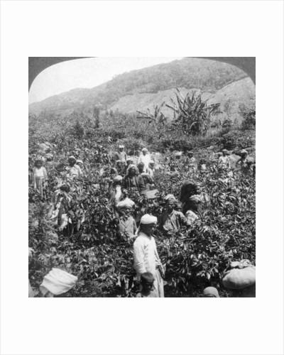 Coffee picking on Sir Thomas Lipton's estate, Dambutenne, Sri Lanka by Underwood & Underwood