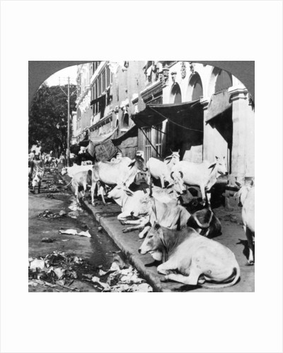 How Hindu cows enjoy life on Harrison Street, Calcutta, India by Underwood & Underwood