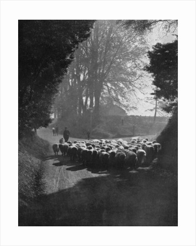 Sheep on the way to the Wilton Sheep Fair, Wilton, Wiltshire by Charles E Brown