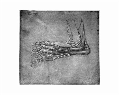 Muscles and sinews in a foot, possibly of a hare by Leonardo Da Vinci