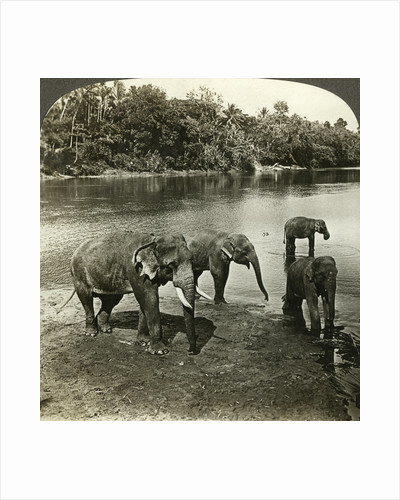 Elephants, Sri Lanka (Ceylon) by Underwood & Underwood