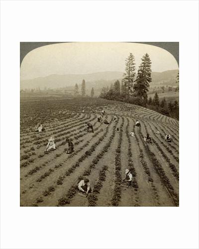 Strawberry picking, Cedar Creek Farm, Hood River Valley, Oregon, USA by Underwood & Underwood