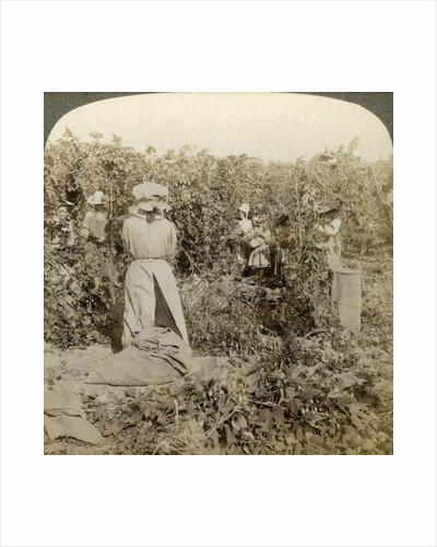 Hop picking, Eugene, Oregon, USA by Underwood & Underwood