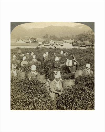 Girls picking tea, Uji, Japan by Underwood & Underwood