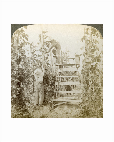 In the Rich Hop District, Training the Vines, White River Valley, Washington by Underwood & Underwood