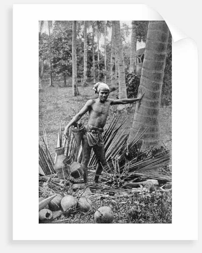 Malay collecting the sweet wine of the toddy tree by Anonymous