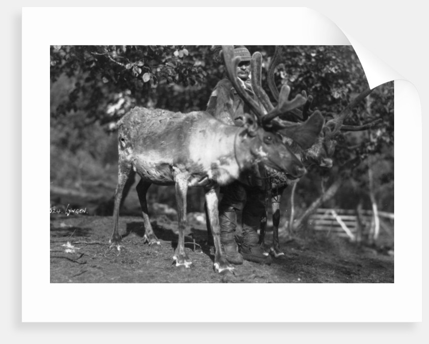 Local man with a reindeer, Lyngen, northern Norway by Anonymous