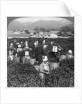 Tea-picking in Uji, Japan by Underwood & Underwood